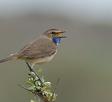 Bluethroat IV - (Luscinia svecica) by Peter Wiggerman