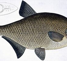Bream (Cyprinus Brama) by Bridgeman Art Library
