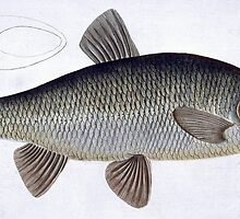 Chub (Cyprinus Jeses) by Bridgeman Art Library