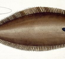 Dover Sole (Solea Solaea) by Bridgeman Art Library