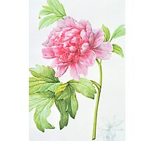 Japanese Tree Peony (Paeonia suffruticosa) Photographic Print