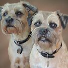 Two Border Terriers  by pepsirat