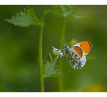 Orange-Tip Butterfly.. Photographic Print