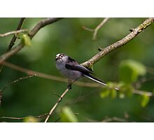 Posing Long Tailed Tit.. Photographic Print