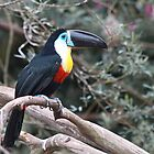 Channel-billed Toucan  (Ramphastos vittellinus) by Warren. A. Williams
