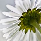 Camomile by flashcompact