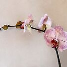 Delicate Pink Phalaenopsis Orchids by Susan Savad
