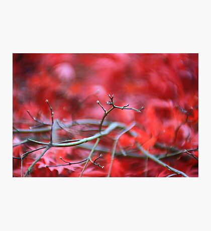 Acer - Langdale. Photographic Print