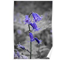 English Bluebell Poster