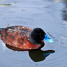 Blue-Billed Duck by margotk