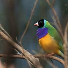 Gouldian Finch by margotk