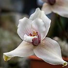 Lycaste orchid by PhotosByHealy