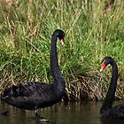 Black Swans by margotk