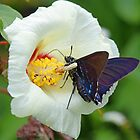 Mangrove Skipper and a Flower by jozi1