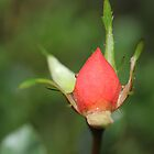 First Rose Bud by aprilann
