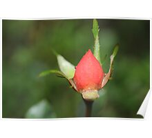 First Rose Bud Poster