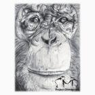 Project Chimpanzee- Tsotsi by Amy Atherton