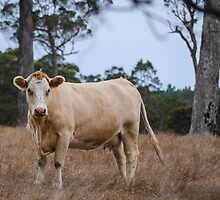 Denmark Cow Country by Christina Backus