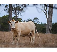 Denmark Cow Country Photographic Print
