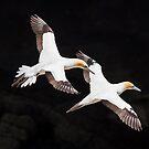 Australasian Gannet - New Zealand by Kimball Chen