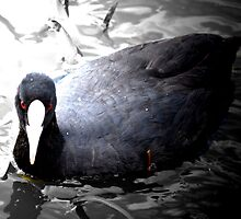 black duck in night pond by alia47