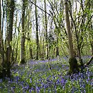Adcombe Bluebell Wood, Somerset by Jacki Stokes