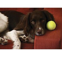 English Springer Spaniel Photographic Print