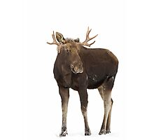 Moose in winter Photographic Print