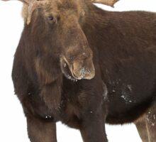 Moose in winter Sticker