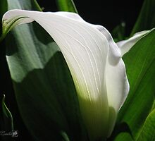 Zantedeschia named Crystal Blush by JMcCombie