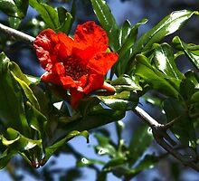 PomPom Pomegranate Flowers by PhotoMel