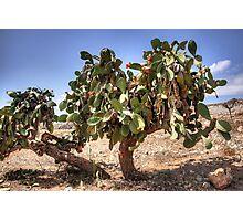 Opuntia ficus-indica Photographic Print