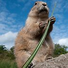 Prairie Dog by hanspeters