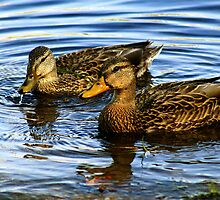 Couple of mallards by Kelly  McAleer