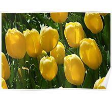 Tulips, In The Morning Sun Poster