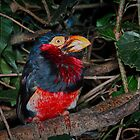 Bearded Barbet (Lybius torquafus) by Warren. A. Williams