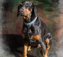 Doberman at Holme Farm by Amar-Images