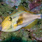 Sixspine Leatherjacket, Sydney Harbour by Erik Schlogl