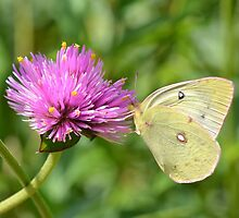 White Butterfly by gurineb