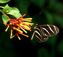 ZEBRA LONGWING BUTTERFLY by TomBaumker