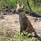 Baby Fox by Sheryl Hopkins