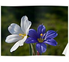 WHITE AND BLUE - BLUE EYED GRASS Poster