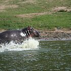 HIPPO SPLASH by David Lumley