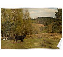 Dexter Cow Admires Hednesford Hills Poster