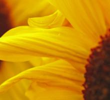 Sunflower Yellow Sticker