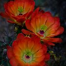 Claret Cup Cactus  by Saija  Lehtonen