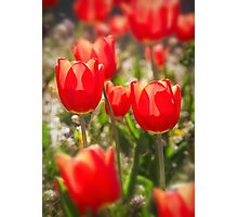 Red Tulips In The Sun Photographic Print