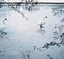 Two swans on the surface of a frozen lake. Norfolk, UK. by liamgrantphoto