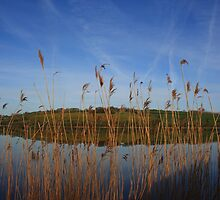 Reeds On The Foyle by Adrian McGlynn