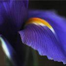 Easter Iris by Chet  King